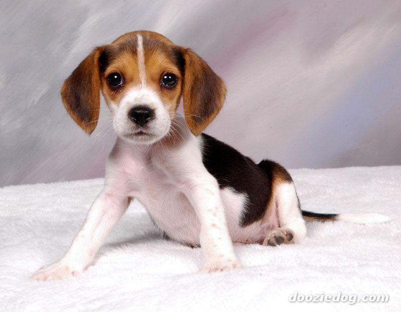 beagle-puppies-5